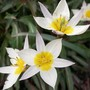 Little Spray Tulip (Tulipa turkestanica (Tulip))