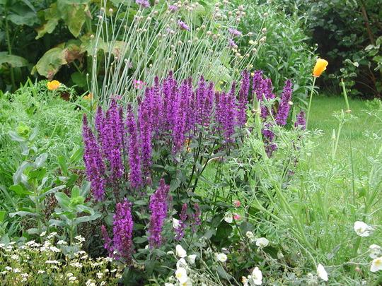 Salvia June 07 (Salvia nemorosa )