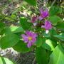 Pereskia grandiflora - Rose Cactus (Pereskia grandiflora - Rose Cactus)