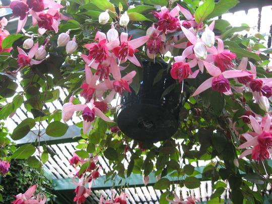 Another Fuchsia