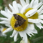 Mini moth on chamomile