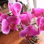 Pink Phalaenopsis Orchid (Phalaenopsis orchid)