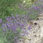Lavender border.