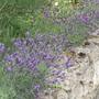 Lavender border.