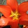 Dwarf_tulip_open