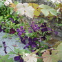 Two_clematis_viticellas_mingling