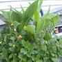 Cannas and border dahlias