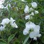 Perenial Sweet pea - White Pearl
