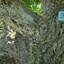 Quercus suber - Cork Oak Trunk (Quercus suber - Cork Oak Trunk)