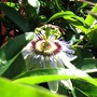 Passiflora (Passiflora caerulea (Passion flower))