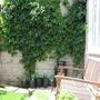 creeper...boston ivy or virginia...creeping! (Parthenocissus tricuspidata (Boston ivy))