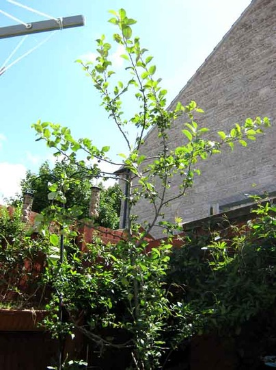 Apple tree, only three and a bit years ols but now... (apple)