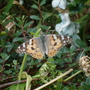 Painted Lady........