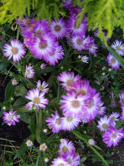 New Asters