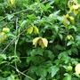Clematis tangutica Bill Mackenzie (Clematis tangutica)