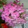 Pelargoniums (Angel Eyes) on balcony table