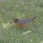 New Mexico robin (I think it's a robin!)