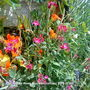 Ten_Week_Stock_on_balcony_2009-07-06.jpg (Matthiola incana)
