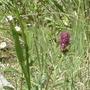 wildflowers 2 - Sandía Mountains