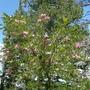 Pink flowers on tree - Luna Trail