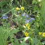 yellow and blue wildflowers - Luna Trail