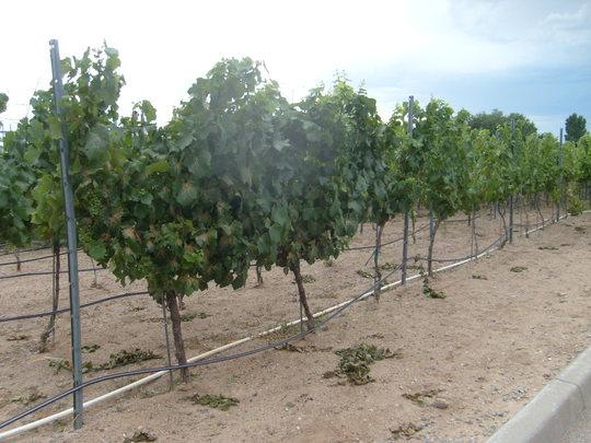 Vinyard in the desert, Gruet Winery