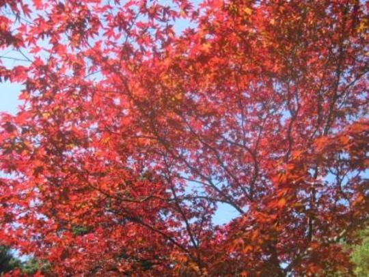 Acer palmatum 'Dissectum Atropurpureum'  (Acer palmatum 'Dissectum Atropurpureum')