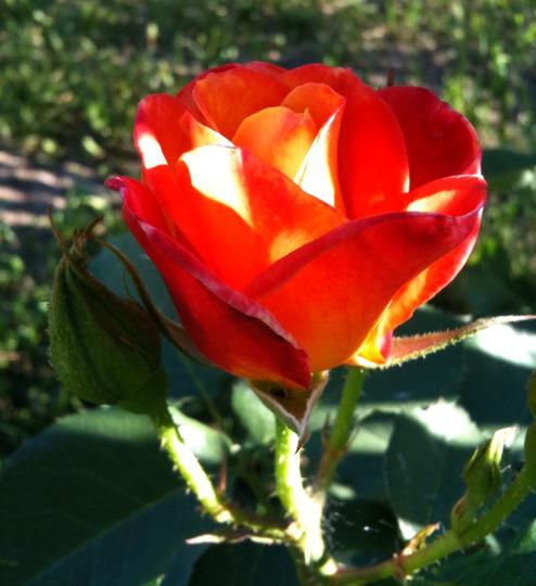New climbing rose