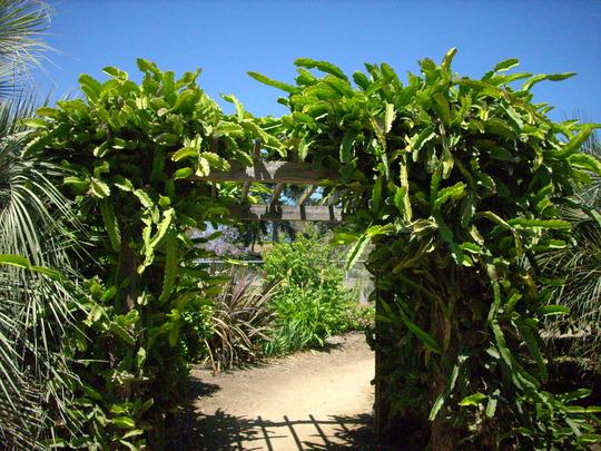 Hylocereus undalatus - Dragon Fruit / Red Pitaya (Hylocereus undalatus - Dragon Fruit / Red Pitaya)