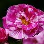 Rosa Mundi (Rosa gallica (Rosa mundi rose))