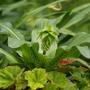Eucomis bicolor (Pineapple lily)