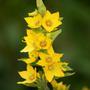Lysimachia punctata (Lysimachia punctata (Garden Loosestrife))