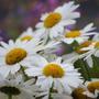 Leucanthemum (Leucanthemum x superbum (Shasta daisy))
