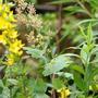 Macleaya (Macleaya cordata (Plume poppy))