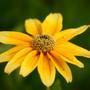 Rudbeckia 'Prairie Sun' (Rudbeckia hirta (Black-eyed Susan))