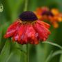 Helenium 'Red Army' (Helenium autumnale (American Sneezeweed))