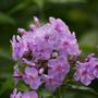 Phlox (Phlox paniculata (Perennial phlox))
