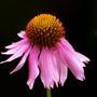 Echinacea 'Kim's Knee High' (Echinacea purpurea (Coneflower))