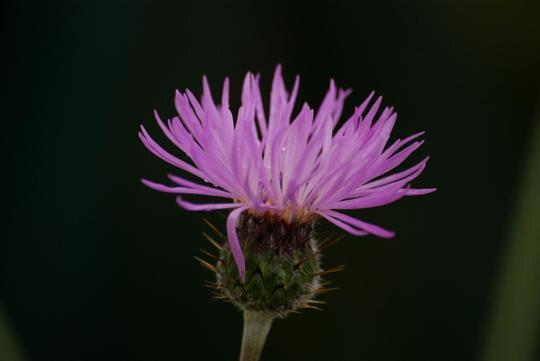 Amberboa (Amberboa muricata)