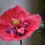Opium Poppy (Papaver somniferum (Opium poppy))