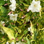 Night-scented Jasmine (Jasminum polyanthum variegata (Jasmine))