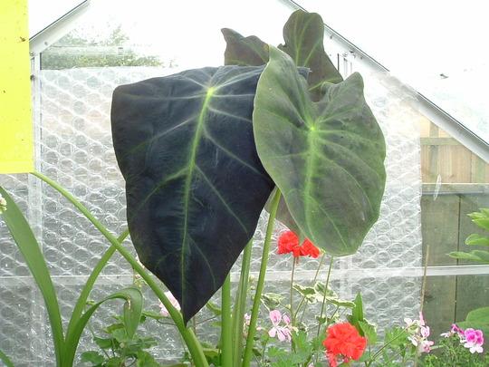 Illustris (Colocasia esculenta (Dasheen))