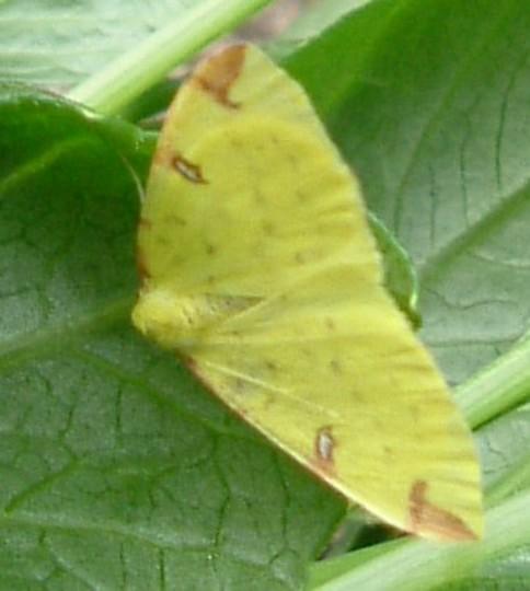 Small Brimstone Moth