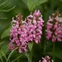 Betony (Stachys officinalis (Bathenien))