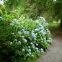 Hydrangeas at Picton Garden