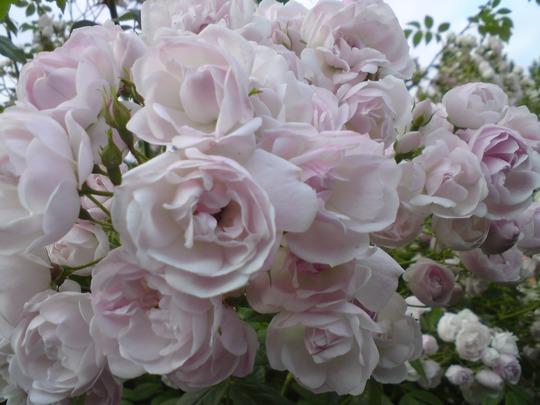 ethel and martha roses