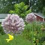 Elephant garlic flowers