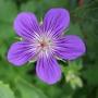 Geranium_larch_cottage_velvet_