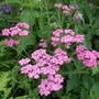 Achillea 'Lilac Beauty' (Achillea ageratum (Yarrow))
