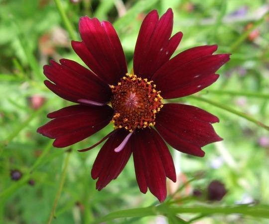 Coreopsis 'Limerock Ruby' (Coreopsis rosea (Tickseed))